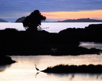 Egret on Tomales Bay
