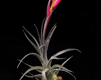 """Tillandsia aeranthos """"Mini-Purple""""-Miniature Airplant"""