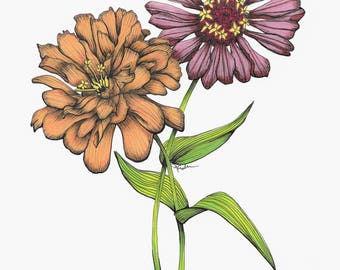Zinnia Fine Art Print Drawing