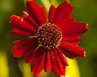 Coreopsis- Red Dwarf- 100 Seeds
