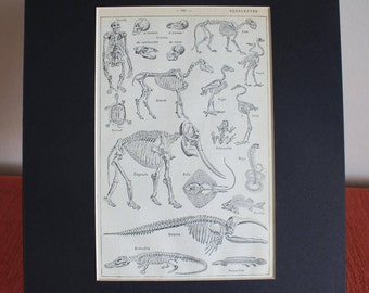 French Animal Skeletons Print mounted illustration 1939 Vintage Squelettes original matted page animal anatomy