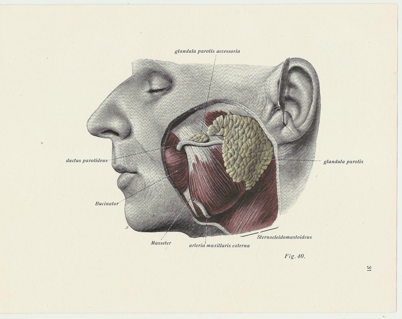 Medical Print Anatomical Illustration 1930s Human Skull Head