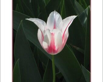 Tulip Solo