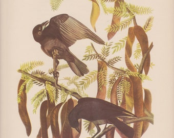Vintage 1950's Audubon Print,Fish Crow , Commentary by Roger Tory Peterson, Ornithology, Rustic Decor, Suitable for Framing