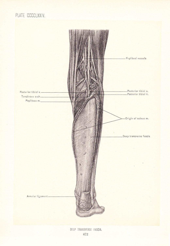 Attractive Peroneal Artery Embellishment - Anatomy Ideas - yunoki.info