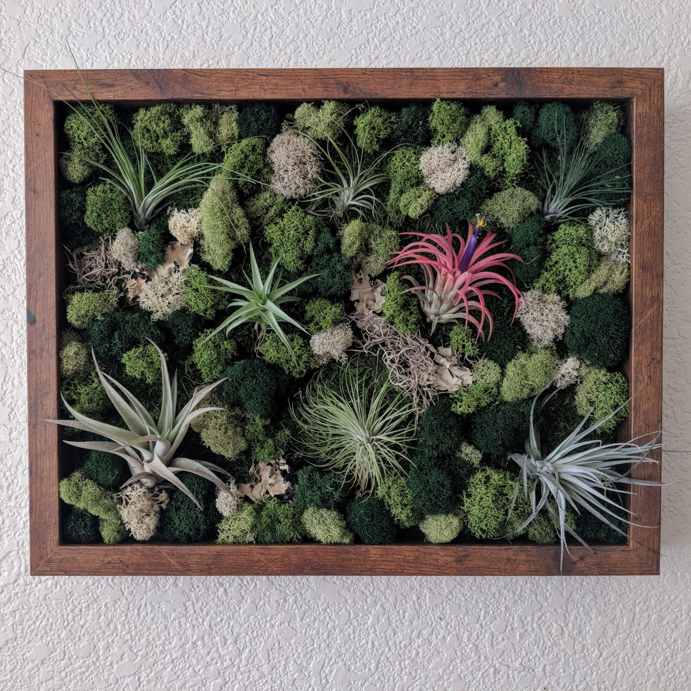 Framed vertical wall garden with multiple air plants reindeer 8000 jeuxipadfo Images