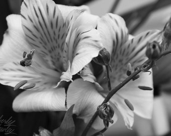 Photography, Black and White, Nature, Floral, Alstroemeria