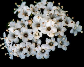 Edible fall flowers etsy arrowwood viburnum bush edible fruit white flowers fall color attracts wildlife mightylinksfo