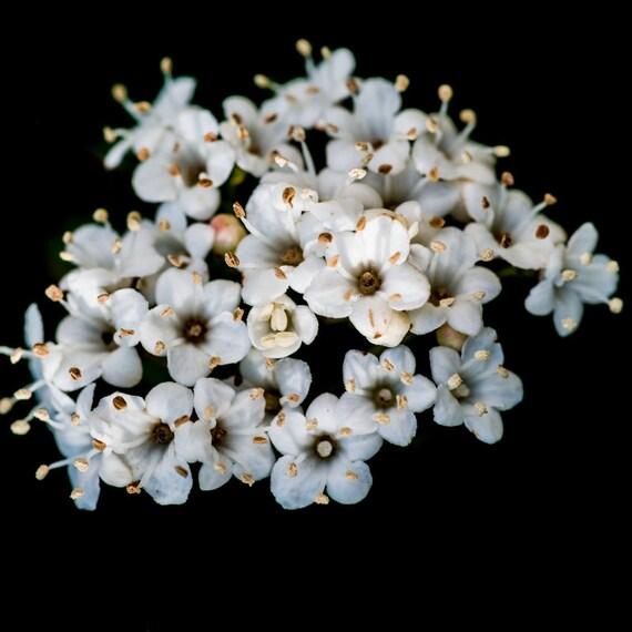 Arrowwood viburnum bush edible fruit white flowers fall mightylinksfo
