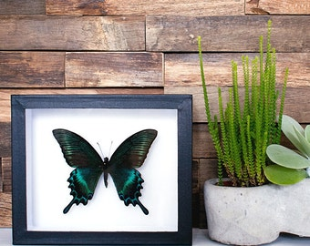 Real framed butterfly: Papilio maackii // metallic colored