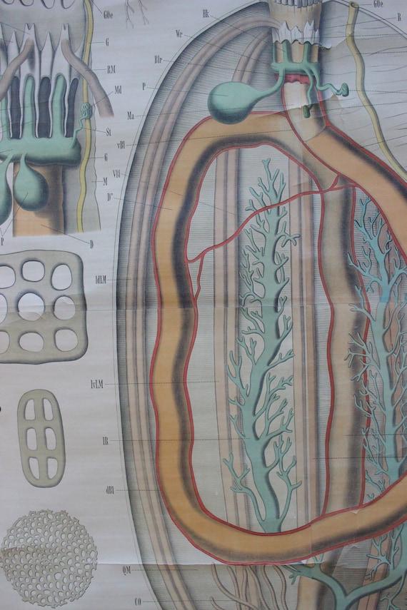 Antike 19. Jahrhundert Biologie Poster/Diagramm Meer Gurke