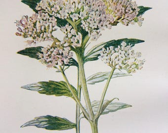 1878 Valerian Original Antique Botanical Lithograph - Botany - Wild Flower - Wall Decor  - Home Decor - Matted & Ready to Frame