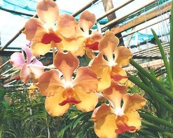 Orchid - Vanda Joladda Dok Dee …. Stock #285-6