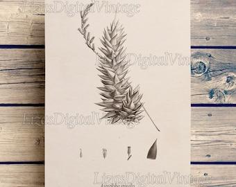 Succulent, Antique Art, Print vintage, Botanicals, Succulent print, Digital art print, Printable botanical image, Vintage art JPG PNG 300dpi
