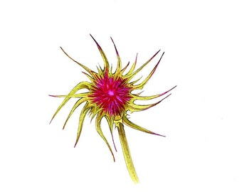 """Thistle flower art print of a drawing I did available 5x7"""" or 8x10"""""""