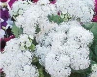 50+ Pure White Ageratum / Flower Seeds