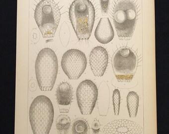 1879 Amoeba Lithograph, Plate XXXVI: Euglypha Ciliata, Original Antique Lithograph