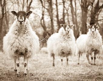 Sheep card, blank card, sheep photography, greetings card, black & white card, photo card, fine art photo, birthday card, photo card: Sheep