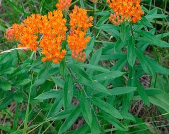 Asclepias Tuberosa Seeds,Butterfly Weed Seeds, Milkweed Seeds, Flowers that Attract Monarch Butterflies, Nectar Plants