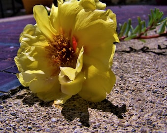Yellow Moss Rose on Sidewalk