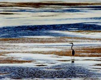 Blue Heron Color Photo, Size 5x7, Other Sizes Available, Bird Photography, Blue Heron Photo, Free U.S. Shipping