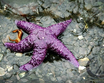 Nature Photography.  Starfish Photography.  Sea, Ocean, Sea Life Photography. 8x12 Print