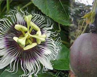 Passiflora Pandora 8 seeds