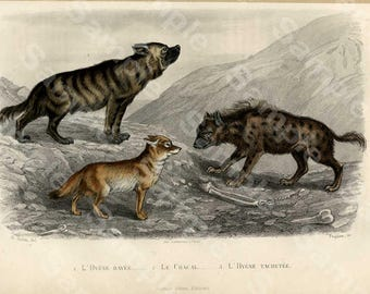 Heyenas and fox,Original Hand Colored Engraving of  decorative engraving by Edouard TRAVIES rare french Edition