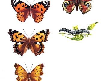 Butterflies Print  - Vanessa Butterflies - 1974 Vintage Book Page - World Butterflies Book - 10 x 8