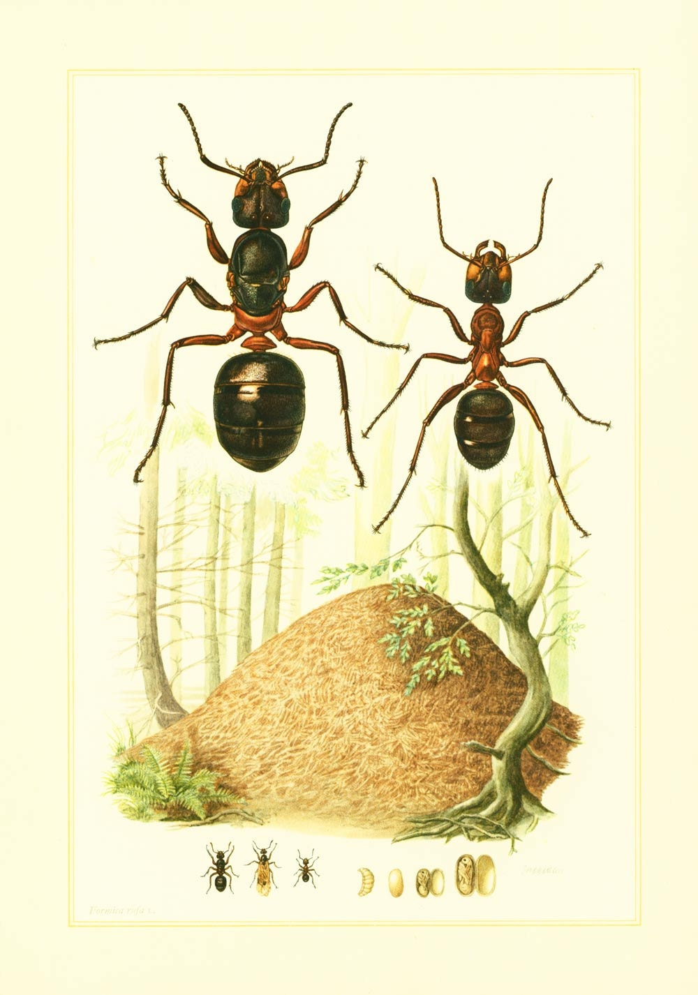 1960 Vintage Ant Print. Ants Illustration. Insect. Entomology.