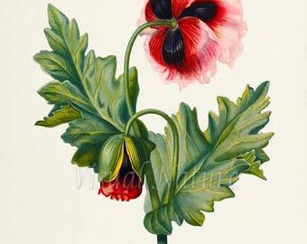 Opium Poppy Flower Art Print, Botanical Art Print, Flower Wall Art, Flower Print, Red Flower Art Print, Home Decor