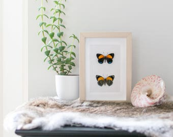 Real framed butterfly: Callicore eunomia // back & front // shadowbox