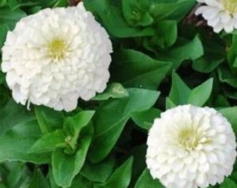 White Polar Bear Zinnia Flower Seeds/Annual  50+
