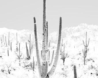 Exposed Saguaros