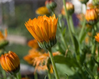 Calendula Seeds - Calendula Officinalis -  Heirloom Flower / Herb Seeds