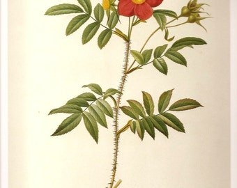 REDOUTE Botanical Print 2007 Antique ROSES Color Print Plate 67 68 Redoute Rose with Red Stems and Prickles and Double May Rose