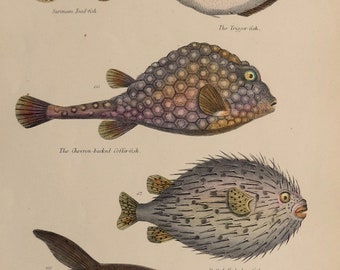 """1862.Antique print.Engraving hand colored.155 year old print.Museum of Natural History.FISH,Toad fish,trigger,coffer...10.6x7"""",18x27 cm."""