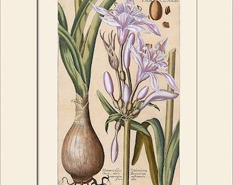 Botanical Print, Daylily Print, Hemerocallis, Print with Mat, Note Card, Natural History Illustration, Wall Art, Wall Decor