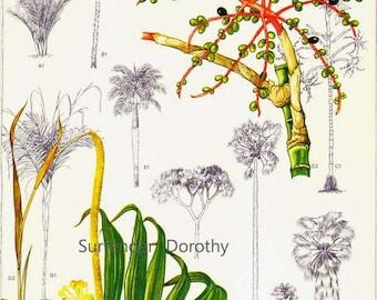 Coconut Palm Tree Obst Blumen zentrales Südamerika botanische Exotica 1969 Jahrgang Illustration zu Rahmen 191