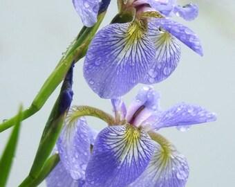 Flower Photograph - Iris Flower - Spring Flower and Raindrop - Soft Purple Iris - Floral Wall Decor - Nature Flower Art - Iris Photograph