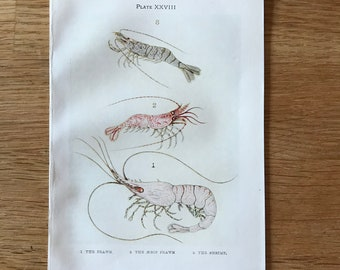 Original-1907-Book Plate-Natural History-Ocean-Sea Shore-Prawn-Shrimp-Beach-Beach House-Home-Bathroom decor