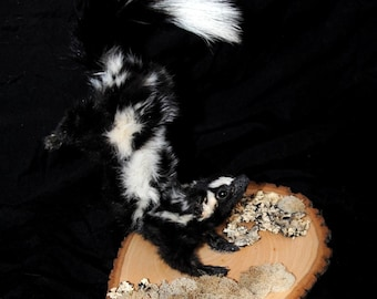 Mounted Spotted Skunk Taxidermy