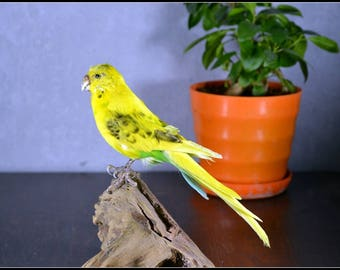 Real Bird Taxidermy budgerigar, Birthday Gift,Art Display,Free Shipping to every where
