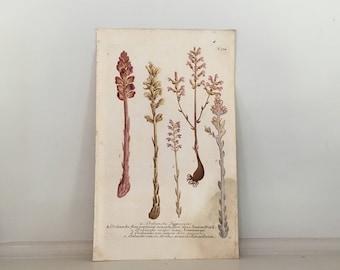 1737 BROOMRAPE BOTANICAL print rare original antique hand colored flower engraving by johann weinmann OROBANCHE