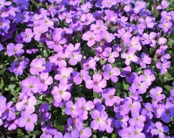500 PURPLE ROCKCRESS Rock Cress Aubrieta Deltoidea Flower Seeds