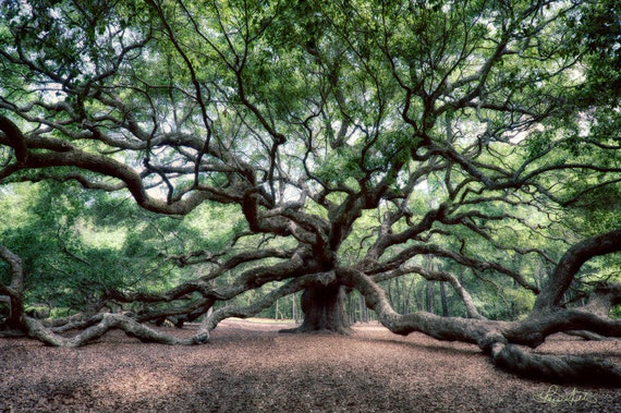Angel Oak / Charleston SC / Oak Tree / Charleston Art / Nature