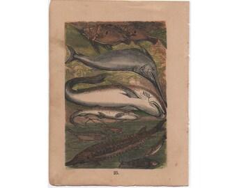 c.1882 FISH - RARE antique lithograph - original antique print - Buffon natural history animal scene mini print - john dory - shark -