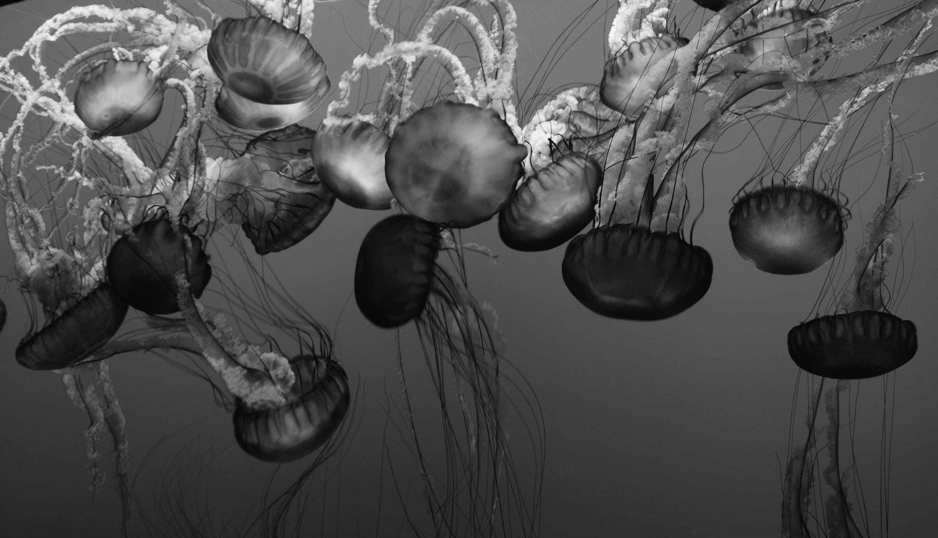 Digital Download Black and White Jellyfish graphy High