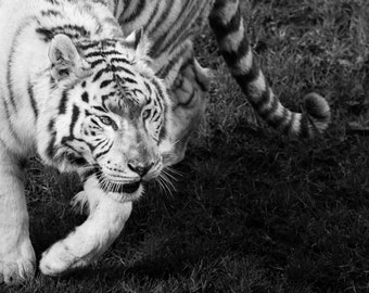 Photograph of a white tiger in its environment