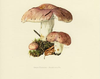 Vintage lithograph of the bare-toothed russula from 1962